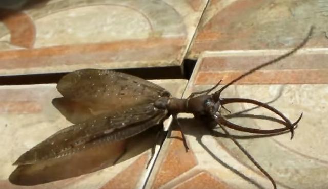 中国で世界最大のヘビトンボが発見される