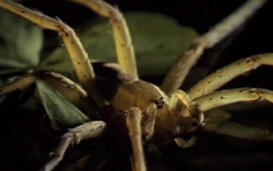 "Dangerous Insects       カエルを釣って食べるクモ!? ""ウオツリハシリグモ"""
