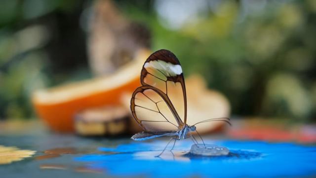 """透明な羽がガラスのように美しい""""グラスウィング・バタフライ"""""""
