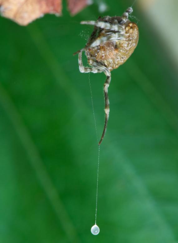 ナゲナワグモが獲物を捕獲する瞬...