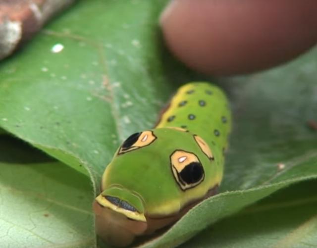 くそかわいい癒し系イモムシ! クスノキアゲハの幼虫