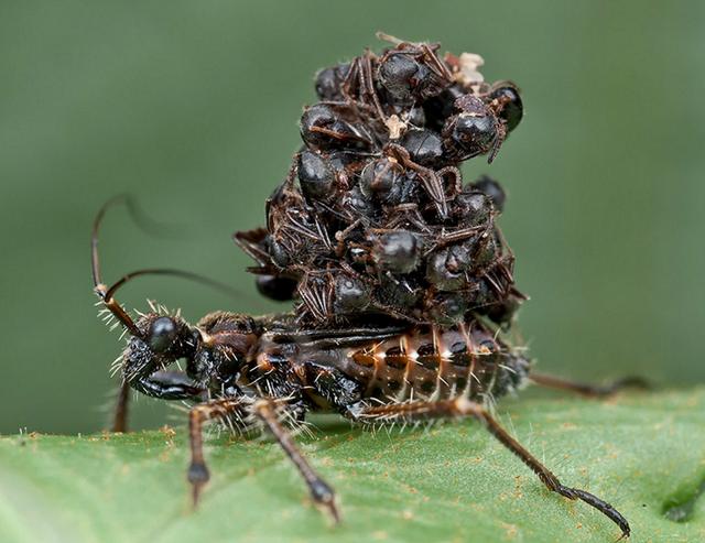 """アリの死骸を鎧のように着て擬態する""""サシガメ"""""""