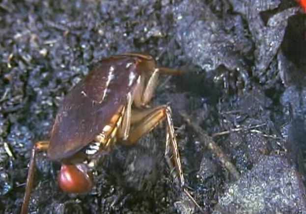 【閲覧注意】 ゴキブリの産卵、孵化映像はこちらです