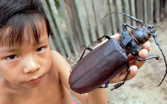 タイタンオオウスバカミキリ