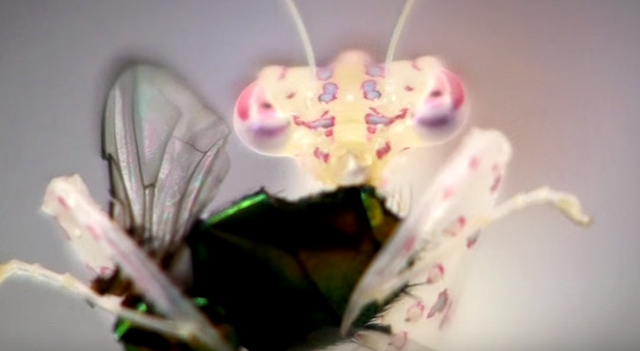 シースルーなカマキリの食事によって映し出される食されたハエが器官の中を通っていく様