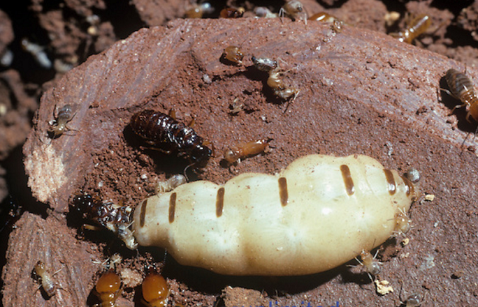 Termites Types Facts amp How to Identify Them  15 Off