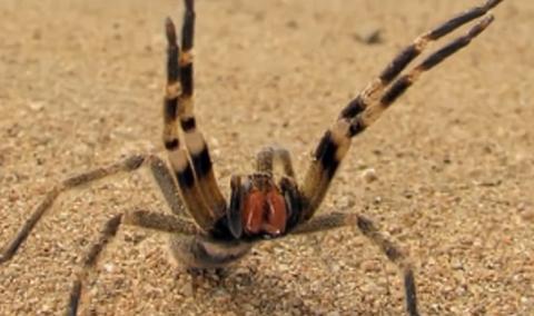 """世界で一番有毒で危険なクモ """"ブラジルドクシボグモ"""""""