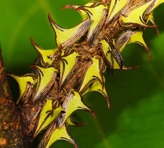 やっぱりキモイ虫・・・ ウンボニア・クラシコルニスというツノゼミ