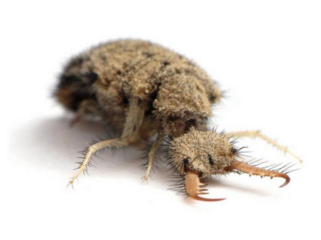 アリジゴクはウスバカゲロウの幼虫って知っていますか?