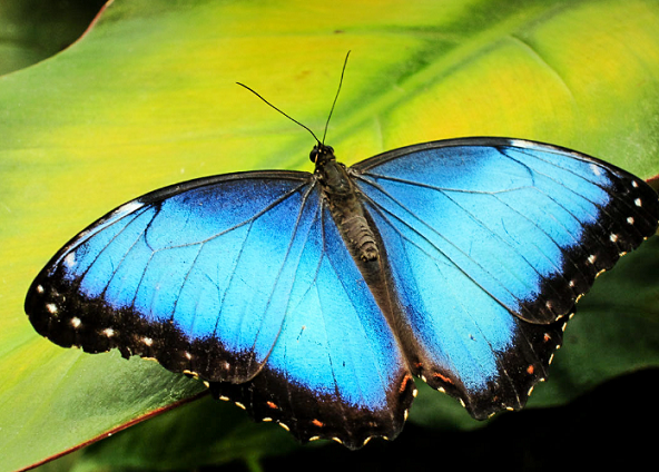 """世界一美しい蝶といわれる""""モルフォチョウ""""の世界"""