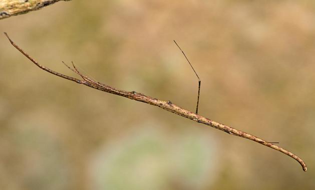 """擬態中は枝にしか見えないけど実際の姿が恐ろしい姿をしているクモ """"ウィップスパイダー"""""""
