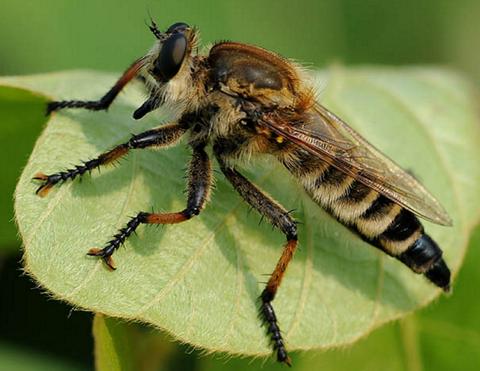 【昆虫界最強のアサシン】 シオヤアブはオオスズメバチやオニヤンマでさえ捕食する