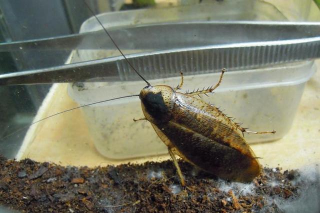 """日本最大のゴキブリ """"ヤエヤママダラゴキブリ""""は忌避感もなくペットにする人も!?"""