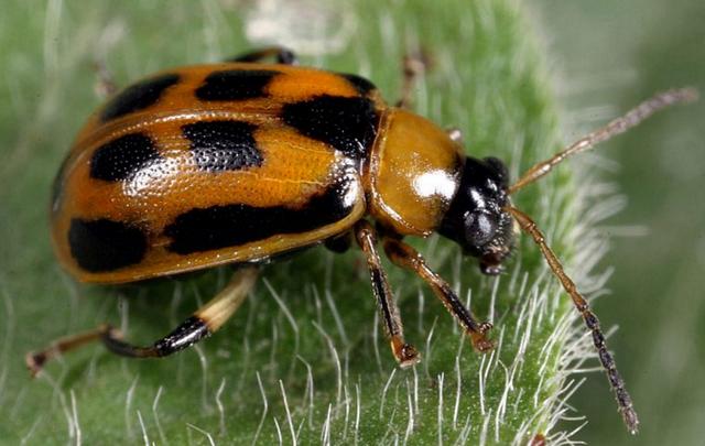 【注意】 ハムシの幼虫がおおむねキモイ件!