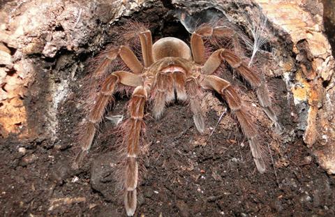 【世界最大のクモ】 噛まれると小型犬並みの怪我をする!? タランチュラのルブロンオオツチグモが危険すぎる