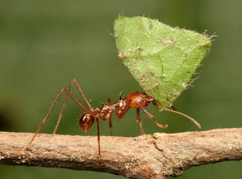 【他に類を見ない!?】 「農業をするアリ」と呼ばれるハキリアリとは