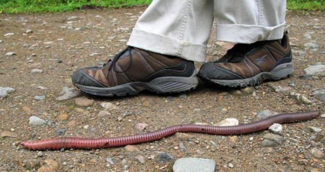 """世界最大のミミズ """"メガスコリデス・アウストラリス""""の体長は3メートルを超える!?"""