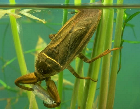 """日本最大の水生昆虫で「水中のギャング」とも呼ばれ時にはヘビやカメ、ネズミさえも捕食する""""タガメ""""は危険!?"""