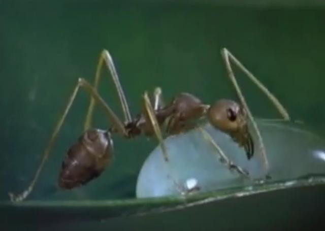 まるでアニメの世界!? 水滴を飲むアリがかわいい