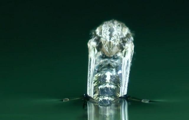 【HD動画】 蚊が蛹から成虫になる瞬間をとらえた鮮明動画