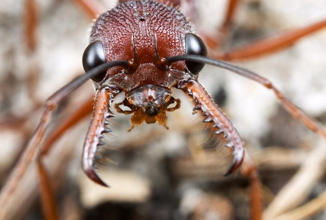 ブルドックアリとかいうアリの大顎がヤバイ! 現地では殺人アリと呼ばれる