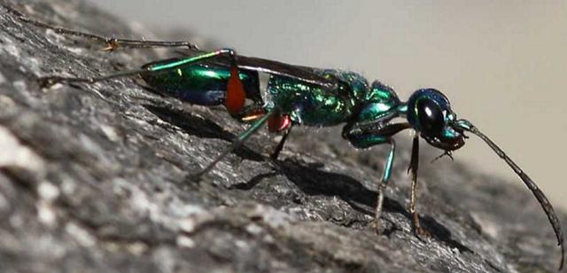 """ゴキブリを監禁して幼虫に寄生させてしまうハチ """"エメラルドゴキブリバチ"""""""