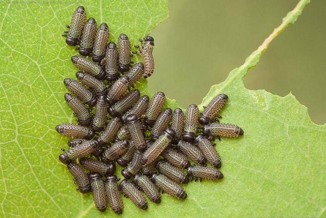 注意】 ハムシの幼虫がおおむね...