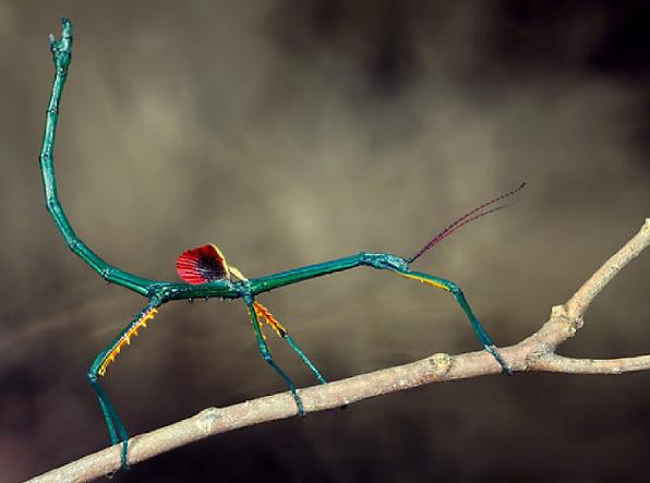 """全体が青色で羽部がトロピカルなナナフシ!? """"ブルーナナフシ""""という虫がなかなかのインパクト"""