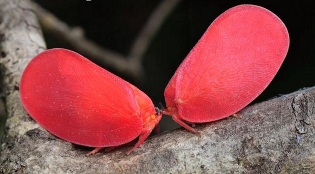 マダガスカルに生息するオオベニハゴロモの幼虫の擬態とは