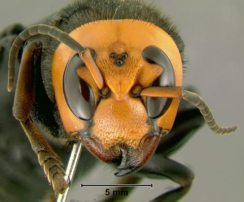 【世界最強のスズメバチ】 オオスズメバチ特集