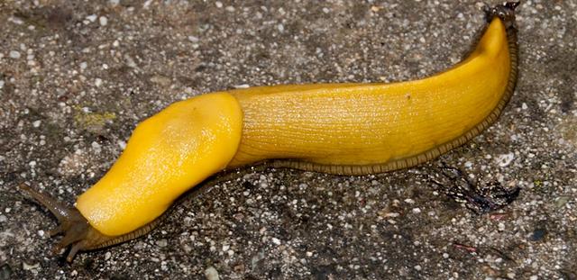 """バナナにそっくり!? """"バナナナメクジ"""""""