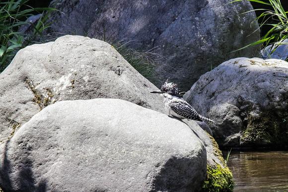 IMG_4801/群馬県の野鳥/ヤマセミ