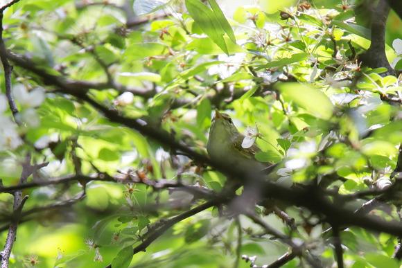 IMG_4431_群馬県の野鳥-センダイムシクイ