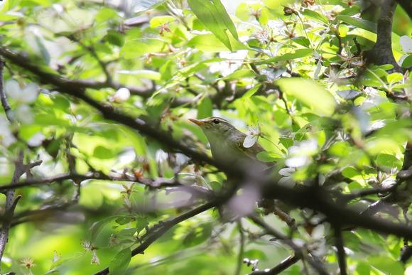 IMG_4430_群馬県の野鳥-センダイムシクイ