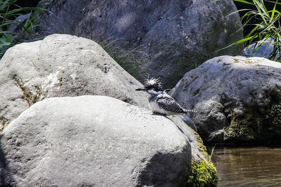 IMG_4804/群馬県の野鳥/ヤマセミ