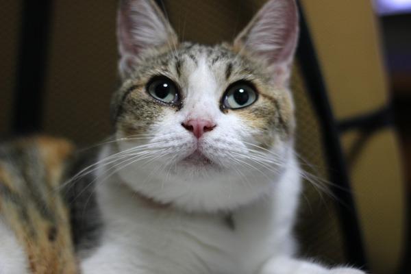 IMG_6554/縞三毛猫の画像