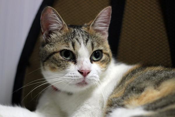 IMG_6546-2/縞三毛猫の画像
