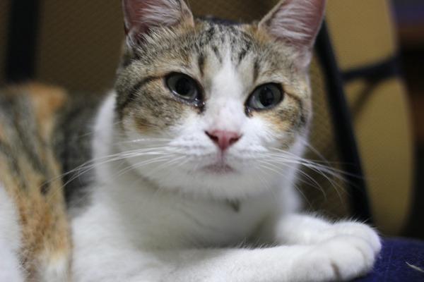 IMG_6553/縞三毛猫の画像