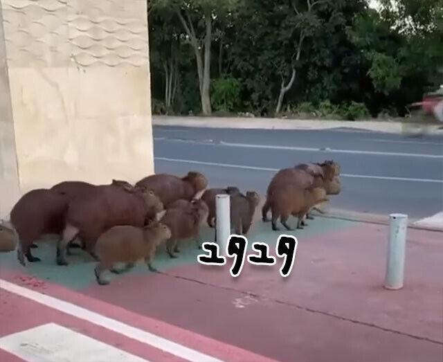 カピバラの集団が道路を横断。歩道からちょっとずれたけど、ちゃんと渡れたよ!