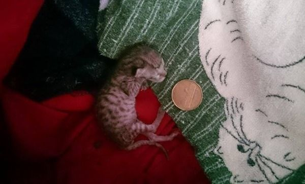 【朗報】生まれた時に40グラムだった猫の赤ちゃん、無事成長する