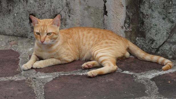 バンコク野良猫