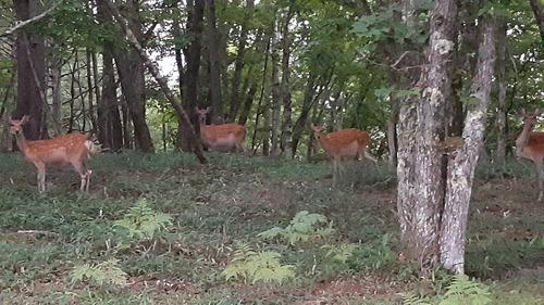 八ヶ岳 野生鹿