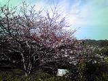 20090404さくら