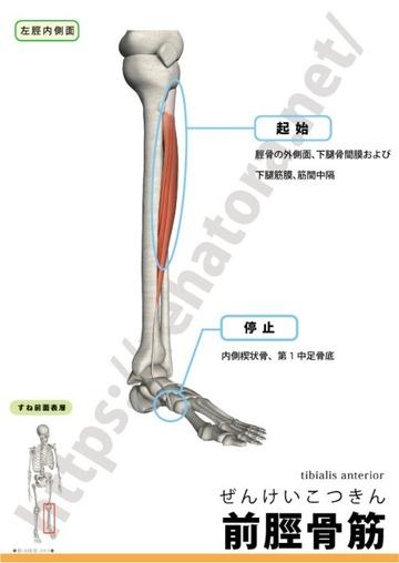 前脛骨筋の起始停止