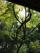 高桐院大木
