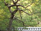 大徳寺の松