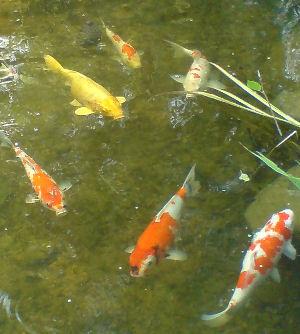 我が家の鯉