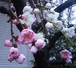 302弁慶しだれ桜