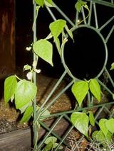 モロッコ豆の花
