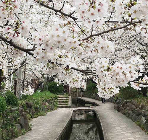 武蔵小杉・二ヶ領用水の桜